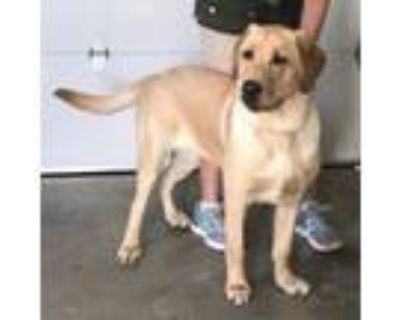 Adopt Cody a Yellow Labrador Retriever