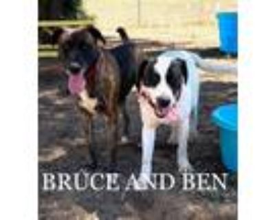 Adopt Ben and Bruce a Brindle Staffordshire Bull Terrier / German Shepherd Dog /