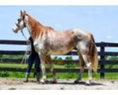 Adopt Winchester a Chestnut/Sorrel Tennessee Walking Horse / Mixed horse in