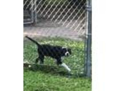 Adopt Boots a Black - with White Bull Terrier / Border Collie / Mixed dog in