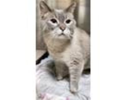 Adopt Mila a Siamese, Domestic Short Hair