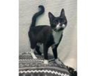 Rey, Domestic Shorthair For Adoption In New Albany, Indiana