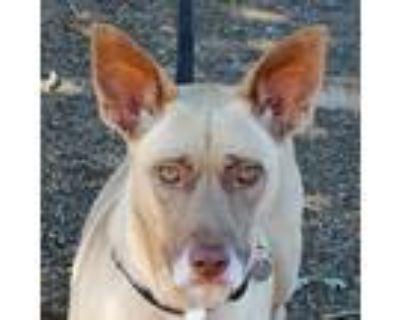 Adopt Suki a Tan/Yellow/Fawn Labrador Retriever / Shepherd (Unknown Type) /