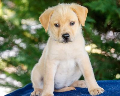 Gia 11106 - Mixed Breed (Large) - Puppy Female