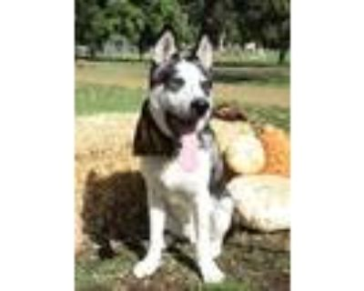 Adopt Gain a White - with Gray or Silver Husky / Mixed dog in Van Nuys