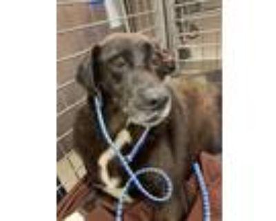Adopt DUKE a Black - with White Labrador Retriever / Mixed dog in Austin