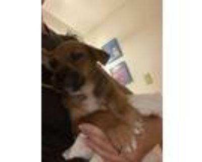 Adopt Stormy a Brown/Chocolate - with Black Cattle Dog / Mixed Breed (Medium) /