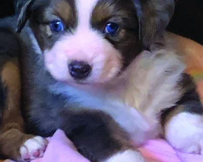 TOY AUSSIE puppy, Blue Boy has it all in a tiny package - blue merle and two gorgeous...