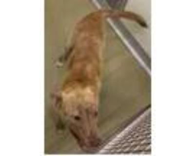 Adopt PRINCESS a Brown/Chocolate - with White American Pit Bull Terrier / Mixed