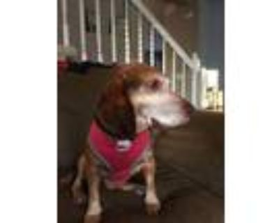 Adopt Archie - Fostered in Omaha a Beagle