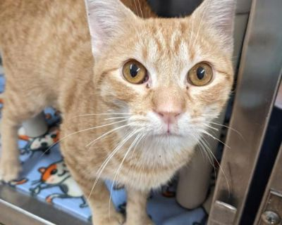 Male Domestic Short Hair named Ollie available for adoption