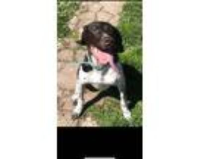 Adopt Lady a Brown/Chocolate - with White German Shorthaired Pointer / Mixed dog
