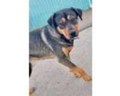 Adopt Cindy Lou a Rottweiler, Shepherd