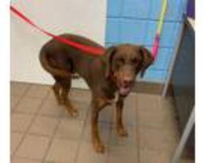Adopt OAKLEY a Tricolor (Tan/Brown & Black & White) Doberman Pinscher / Mixed
