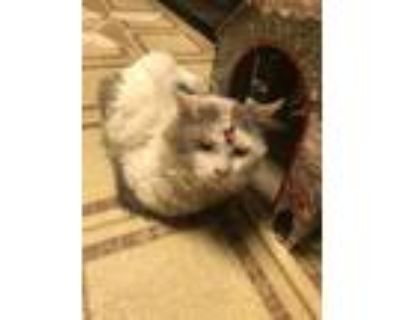 Adopt Gilbert a White (Mostly) Domestic Longhair / Mixed (medium coat) cat in