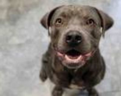 Adopt BOWMAN a Pit Bull Terrier, Mixed Breed