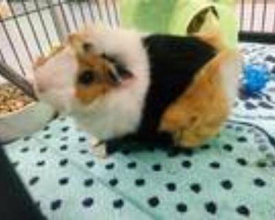 Adopt MUNCH a Brown or Chocolate Guinea Pig / Mixed small animal in Norfolk
