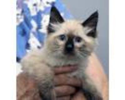 Adopt Sylvia (AO23438) a Siamese, Domestic Medium Hair