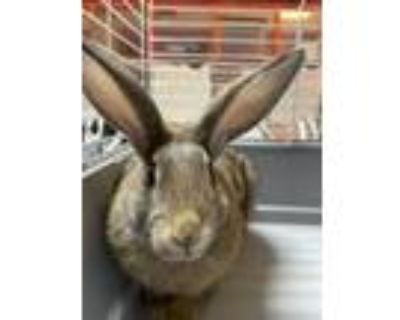 Adopt 47810053 a Tan Other/Unknown / Mixed rabbit in El Paso, TX (31482152)