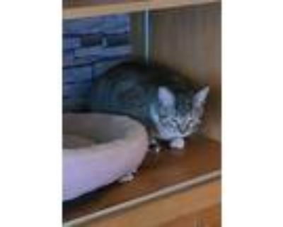 Adopt Louis a Tiger Striped Domestic Mediumhair / Mixed cat in Milwaukee