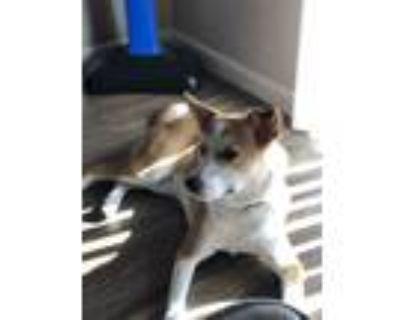 Adopt Oakley a Tan/Yellow/Fawn - with White Australian Shepherd / Border Collie