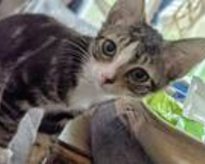 Adopt 5213 Mason a Gray, Blue or Silver Tabby Domestic Shorthair / Mixed cat in