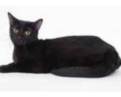 Adopt Cocoa a All Black Domestic Shorthair / Domestic Shorthair / Mixed cat in