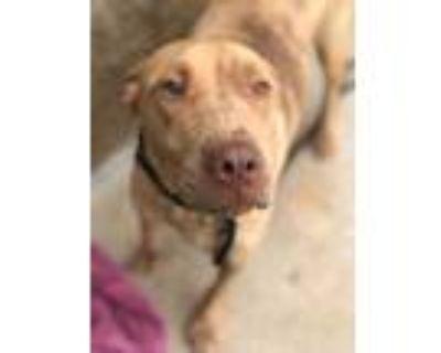 Adopt Canela a Tan/Yellow/Fawn Shar Pei / Catahoula Leopard Dog / Mixed dog in
