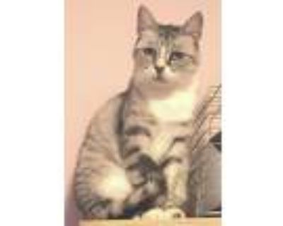 Adopt Lilly a Siamese