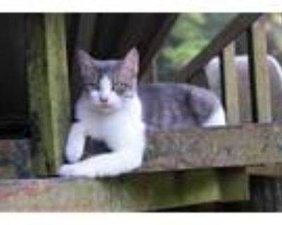 Adopt Emma a Gray, Blue or Silver Tabby Domestic Shorthair / Mixed cat in Abita