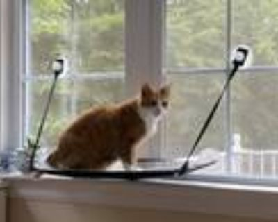 Adopt Gary a Orange or Red Domestic Shorthair / Mixed (short coat) cat in