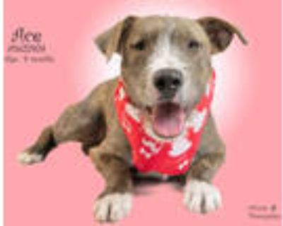 Adopt Dog a Brindle Terrier (Unknown Type, Medium) / Mixed dog in Thousand
