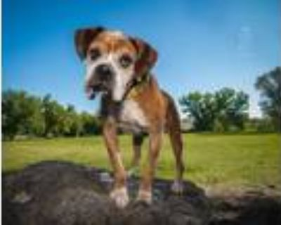 Adopt George a Boxer / Mixed dog in Denver, CO (29160667)