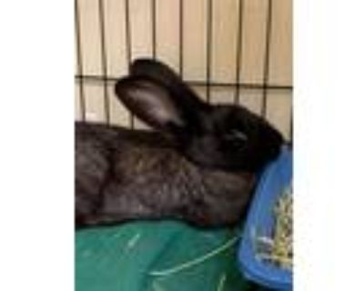 Adopt 2107-0582 Bernie (Available 7/18) a Black Other/Unknown / Mixed rabbit in