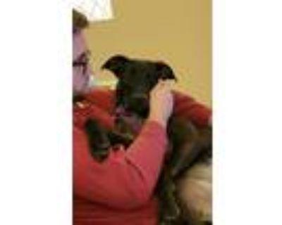 Adopt Frankie a Brown/Chocolate - with White Labrador Retriever / Mixed Breed