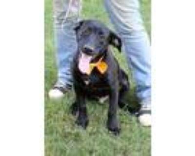Adopt Rudy a Black Labrador Retriever / Mixed dog in Arlington, TX (31501686)