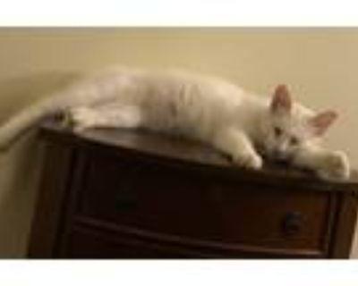Adopt Flash a White Turkish Van (medium coat) cat in Mobile, AL (31677323)