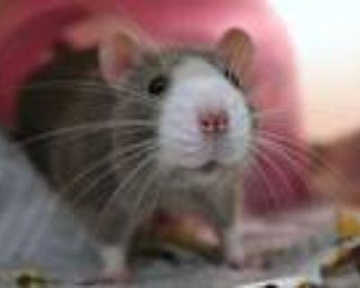Adopt ELLIOTT a Rat