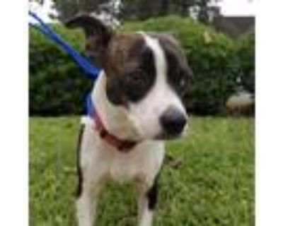 Adopt Luigi a Brindle - with White Boston Terrier / Rat Terrier / Mixed dog in