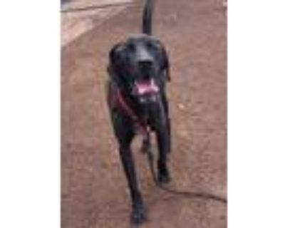 Adopt Giraffe* a Black Labrador Retriever / Mixed dog in Anderson, SC (31959661)