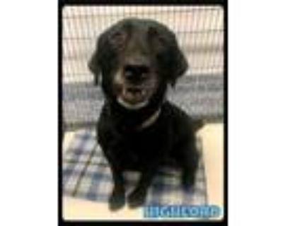 Adopt Highlord - 2106149 / 2021 a Black Labrador Retriever