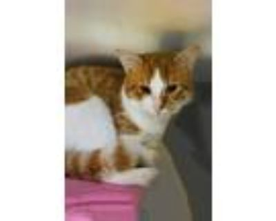 Adopt Romi a Orange or Red Domestic Shorthair / Domestic Shorthair / Mixed cat