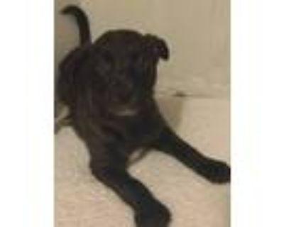 Adopt Magic a Black Cocker Spaniel / Labrador Retriever / Mixed dog in haslet