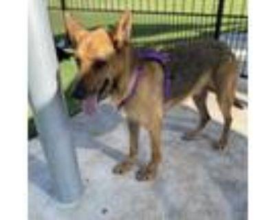 Adopt Athena a Tan/Yellow/Fawn German Shepherd Dog / Mixed dog in Dallas