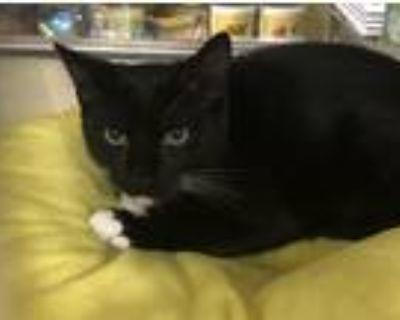 Adopt Maverick a Black & White or Tuxedo Domestic Shorthair (short coat) cat in