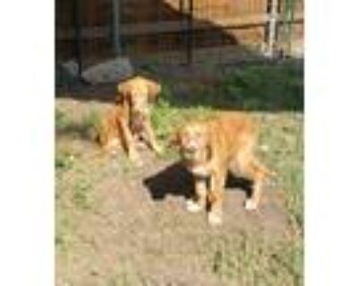 Adopt Scout a Red/Golden/Orange/Chestnut Golden Retriever dog in Garland