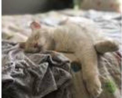 Adopt Thai a Siamese / Mixed (long coat) cat in Phoenix, AZ (31620228)