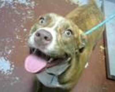 Adopt KYA a Pit Bull Terrier, Mixed Breed