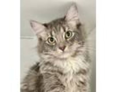 Adopt NESSIE a Domestic Long Hair, Maine Coon