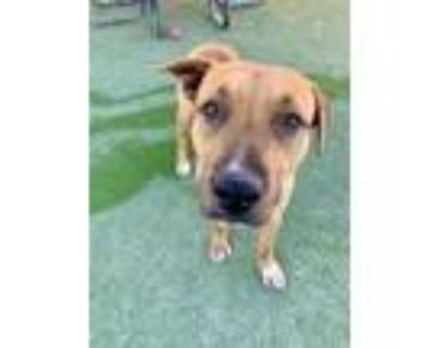 Adopt King a Brown/Chocolate Shepherd (Unknown Type) / Mixed dog in El Paso